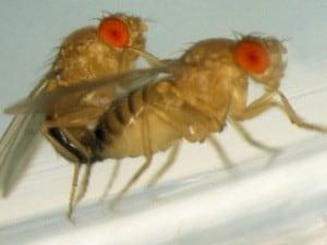 Due moscerini della frutta durante un accoppiamento. E' su esemplari simili che è stata condotta la ricerca.