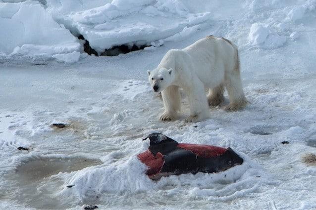 Un orso polare mentre si nutre della carcassa di un delfino