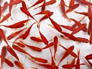 I pesci rossi non devono essere gettati nello scarico