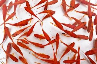 L'invasione dei pesci rossi gettati nello scarico del bagno