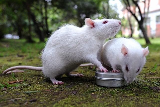 Anche i ratti sognano ciò che desiderano
