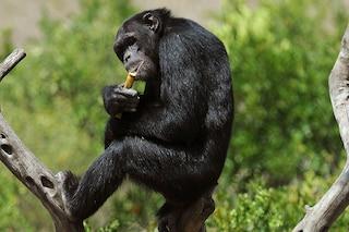 Scimpanzé ubriachi raccolgono il vino di palma con una spugna