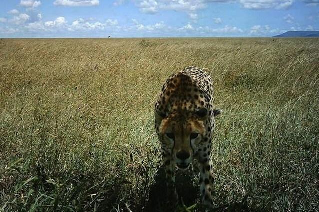 Un ghepardo del Parco Nazionale del Serengeti
