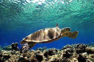 La tartaruga Caretta Caretta torna sulle coste siciliane