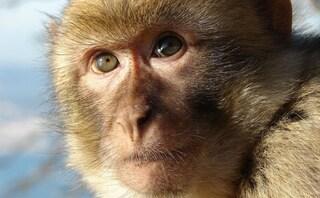 Ecco perché siamo più intelligenti di una scimmia