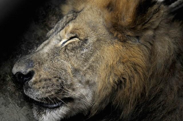 Il leone Cecil aveva 13 anni ed era una vera star