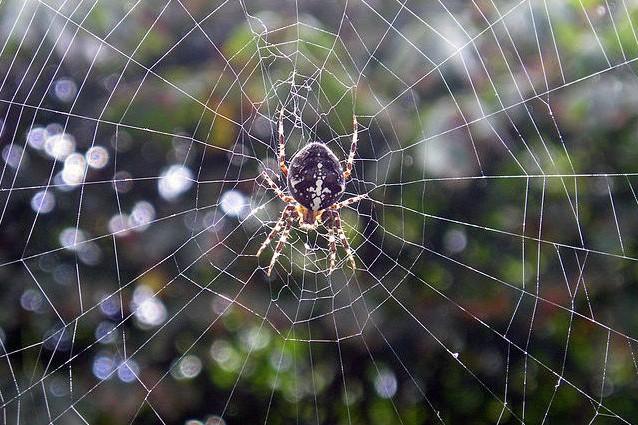 Anche il pene dei ragni è sensibile