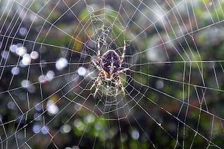Anche il pene del ragno è sensibile allo stress e allo sforzo