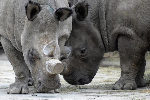 Morto un rinoceronte bianco, ne restano solo 4