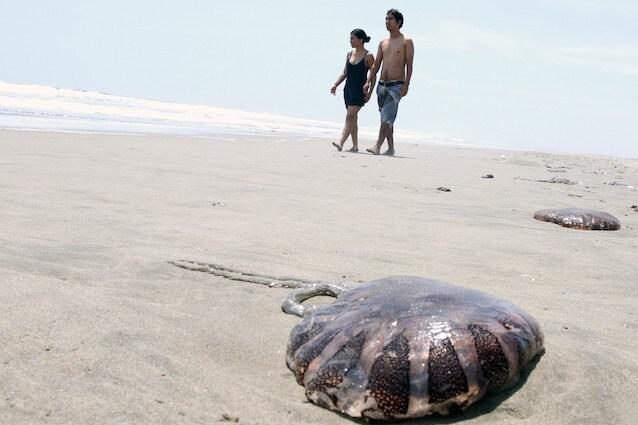 Dal canale di Suez in arrivo una medusa pericolosa