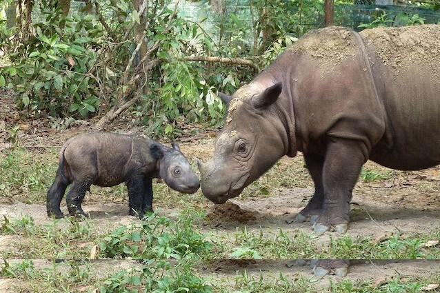 Rinoceronte di Sumatra Dicerorhinus sumatrensis