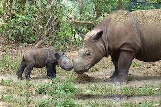 Il rinoceronte di Sumatra è ormai estinto in natura in Malesia