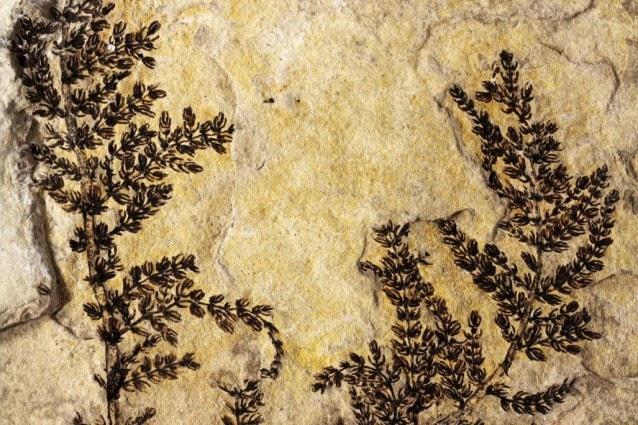 Il fossile di Montsechia vidalii (Credit: David Dilcher)