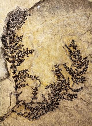 Il più antico fiore mai scoperto ha 130 milioni di anni