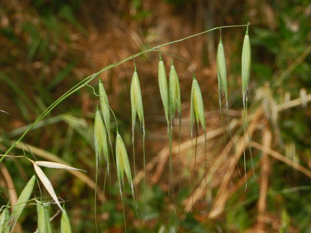 Avena barbata, probabilmente la pianta utilizzata per la faina di 32.000 anni fa (foto via Wikipedia)