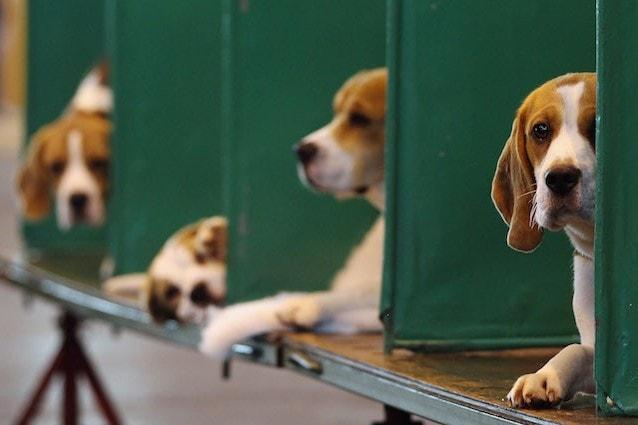 Beagle e sperimentazione