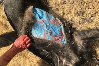 Il grasso del maiale selvatico è blu e si cercano le cause