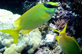 Anche i pesci sono socievoli e si guardano le spalle a vicenda