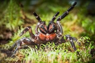 Scoperto un nuovo ragno velenoso dalla testa rossa