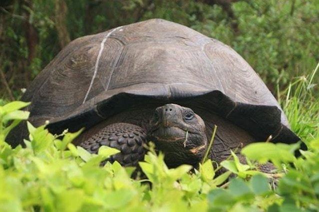Chelonoidis donfaustoi tartaruga gigante