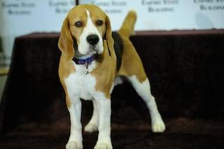 L'ingegneria genetica cinese ha creato cani super muscolosi