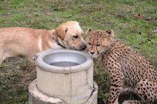Ecco il vero motivo per cui cani e ghepardi vivono insieme negli zoo