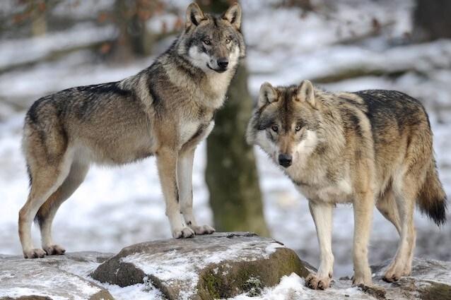 La fauna selvatica di Chernobyl
