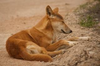 Quando i dingo erano i migliori amici delle donne