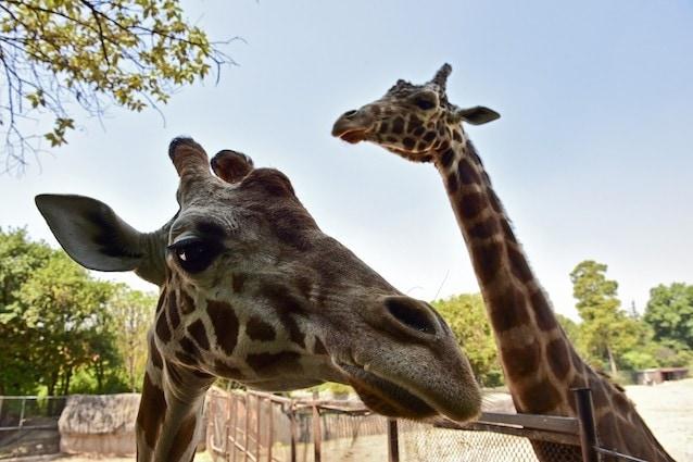 Giraffe e collo lungo