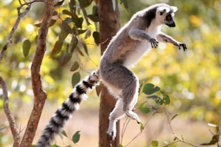 L'Italia salva i lemuri della foresta di Maromizaha in Madagascar