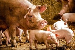 Nuove speranze per i trapianti tra specie, modificato il DNA del maiale