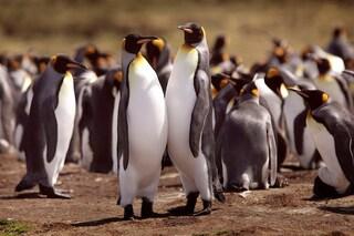 Il super olfatto del Pinguino Reale e il potere delle sue feci