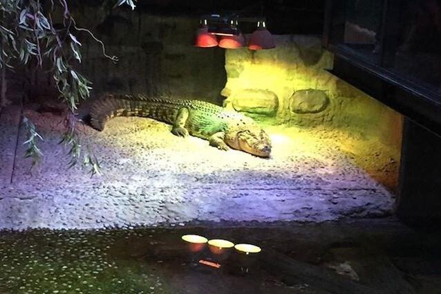 Pinjarra il coccodrillo marino