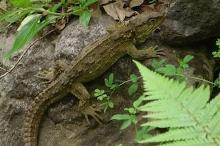 Il rettile tuatara simbolo dell'evoluzione del pene