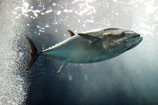 Greenpeace: cosa c'è nelle scatolette di tonno che mangiamo