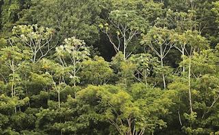 In Amazzonia la metà delle specie di alberi è minacciata
