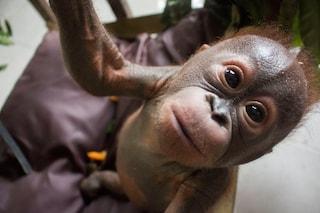 Gito, l'orangotango mummificato in fin di vita, oggi torna a sorridere