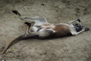 Le flatulenze dei canguri e il riscaldamento globale