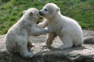 Più zanzare e meno orsi polari, ecco come sta cambiando il Pianeta