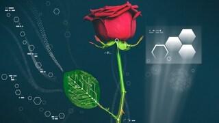 È sbocciata la prima rosa bionica