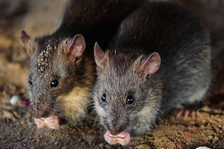 Le radiazioni spaziali rendono i topi più intelligenti