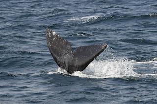 Morte in Cile 337 balene a rischio estinzione, si cercano le cause