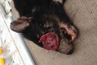 Nuova forma di cancro trasmissibile tra i diavoli della Tasmania