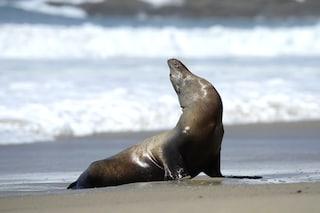 L'alga tossica che provoca danni cerebrali ai leoni marini