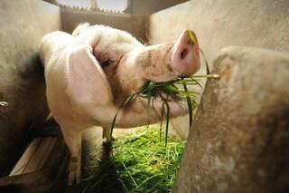 Ridurre l'impatto sull'ambiente dando ai maiali i nostri scarti di cibo