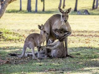 I canguri sono troppi, mangiateli: l'animale simbolo dell'Australia è un 'nemico'