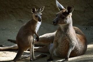 L'apparenza inganna: ecco cosa sta realmente accadendo tra i canguri