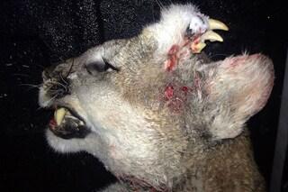 Il sorprendente coguaro trovato con una seconda mascella sulla testa