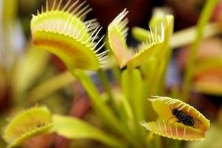 Perché la pianta carnivora dionea sa contare fino a 5?