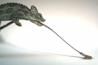 La lingua del camaleonte fa da 0 a 100 km/h in 1 centesimo di secondo